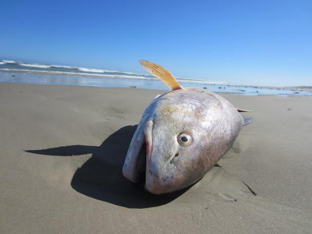 Beyond the breakers kayak fishing/Bad Red Tide/Dead fish. - Padre Island National Seashore