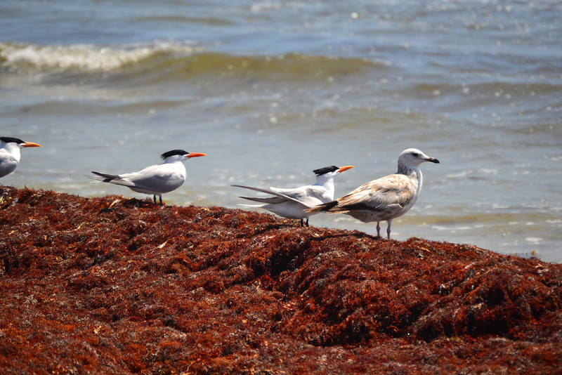 Royal Terns and Herring Gull