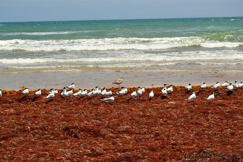 One Herring Gull and many Royal Terns