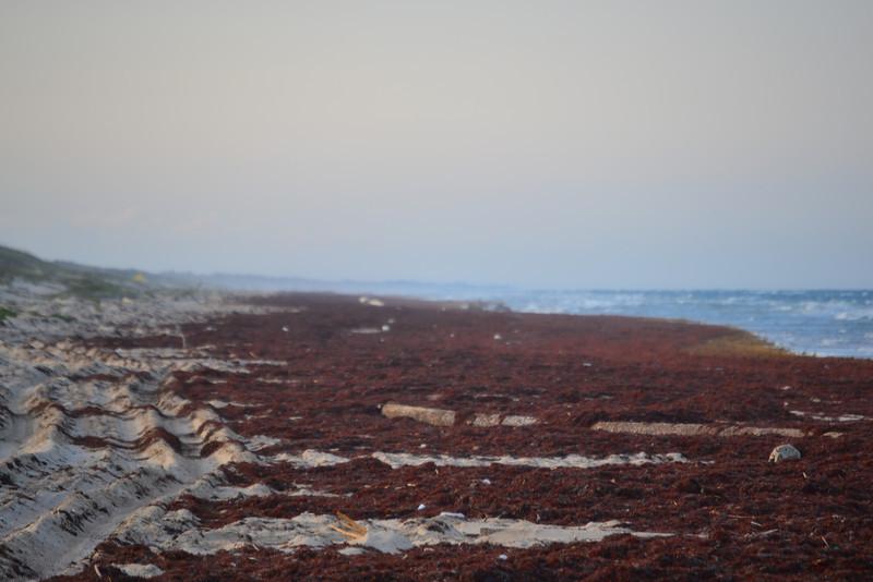 Heavy layer of Sargussum seaweed