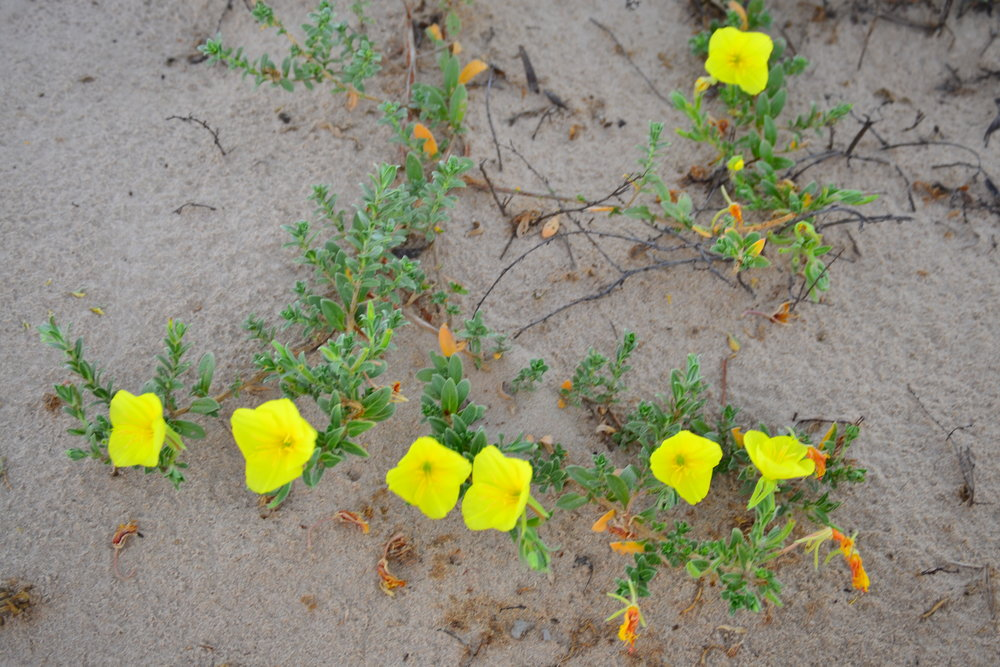 Beach Evening Primrose flowers at dusk