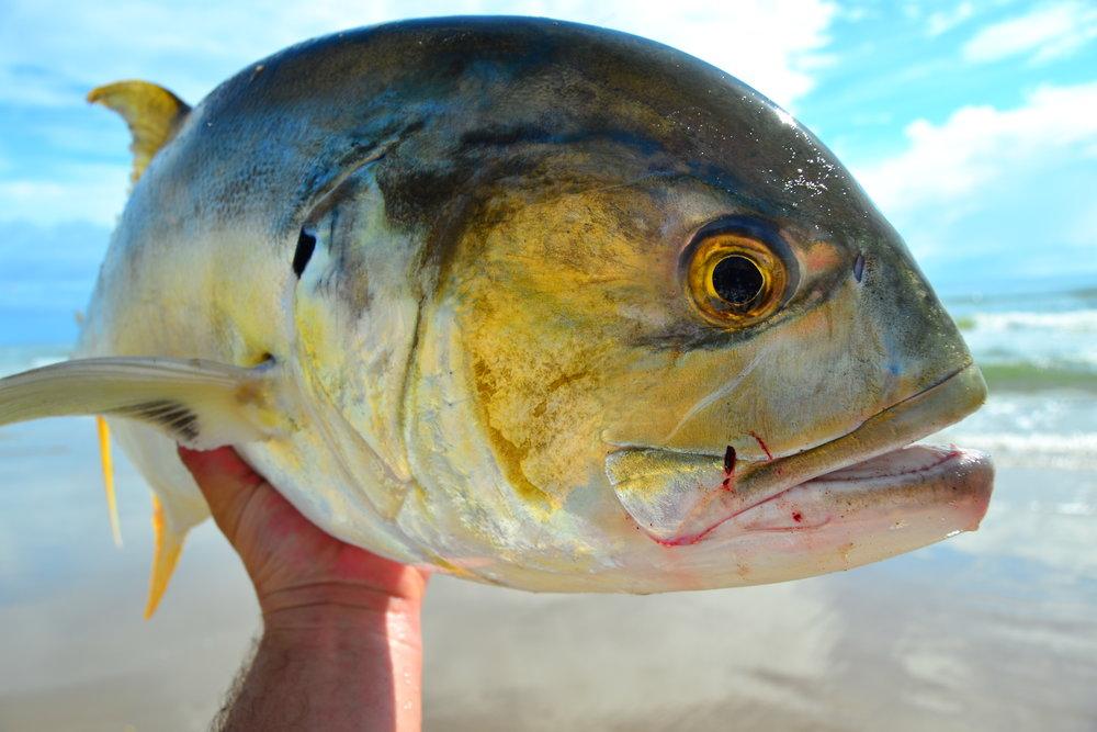 Jackfish on live mullet.