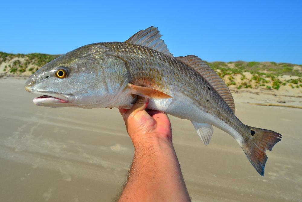 Nice 25 inch redfish.