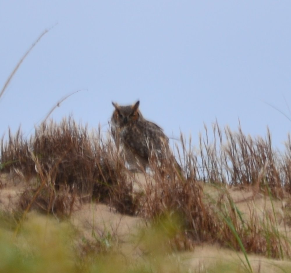 Great horned owl on migration though Padre, part of the Hawk and Falcon migration.