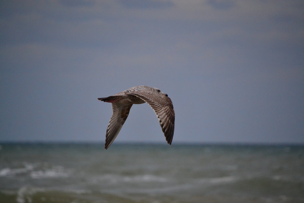 Juvenile first year Herring gull, March