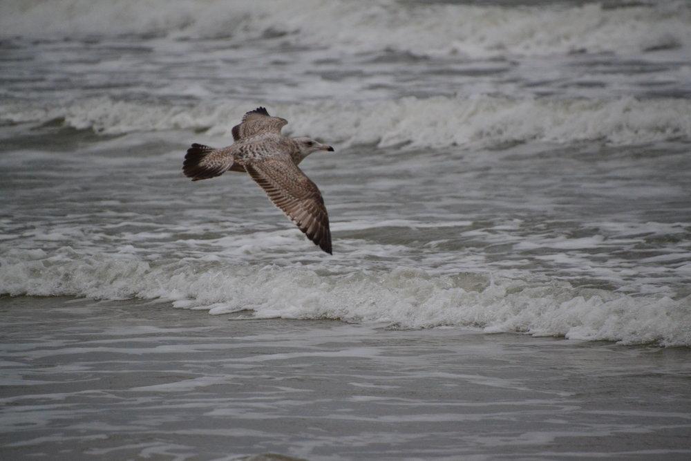 Juvenile first year Herring gull.