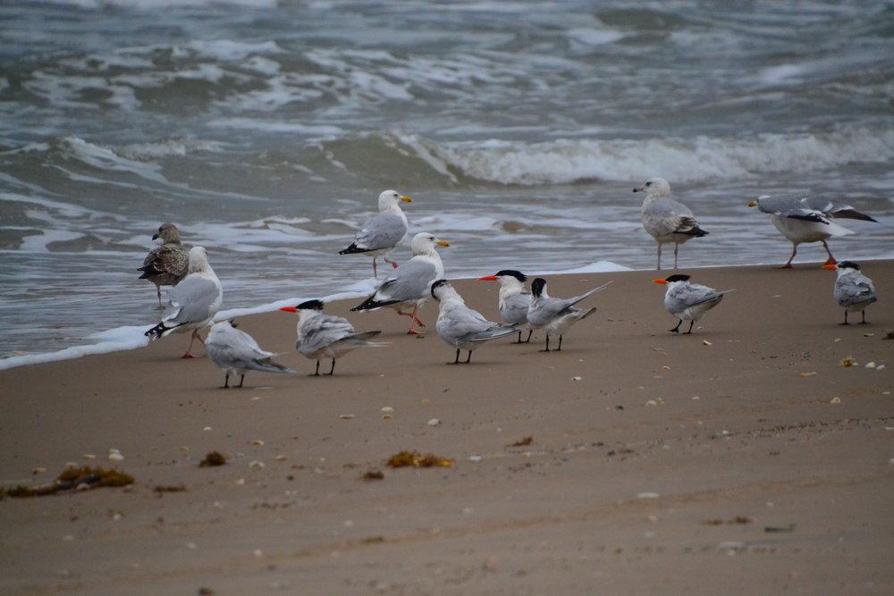 March Royal terns, Caspian Terns, Herring gulls in breeding plumage.
