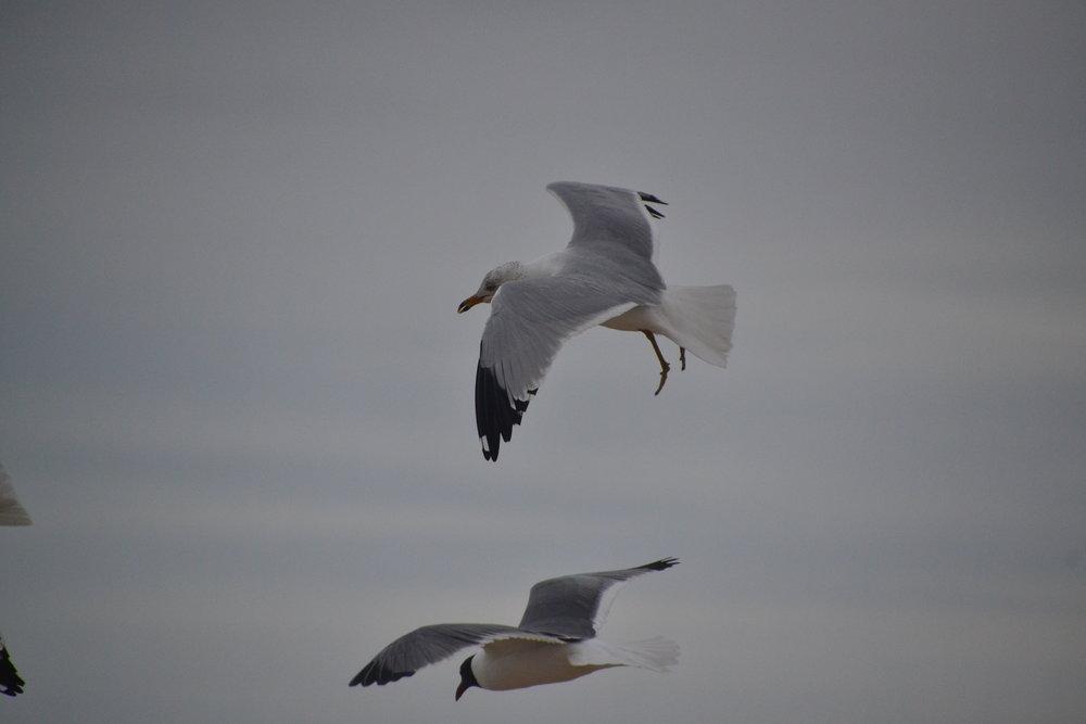 Ring billed gull, breeding adult.
