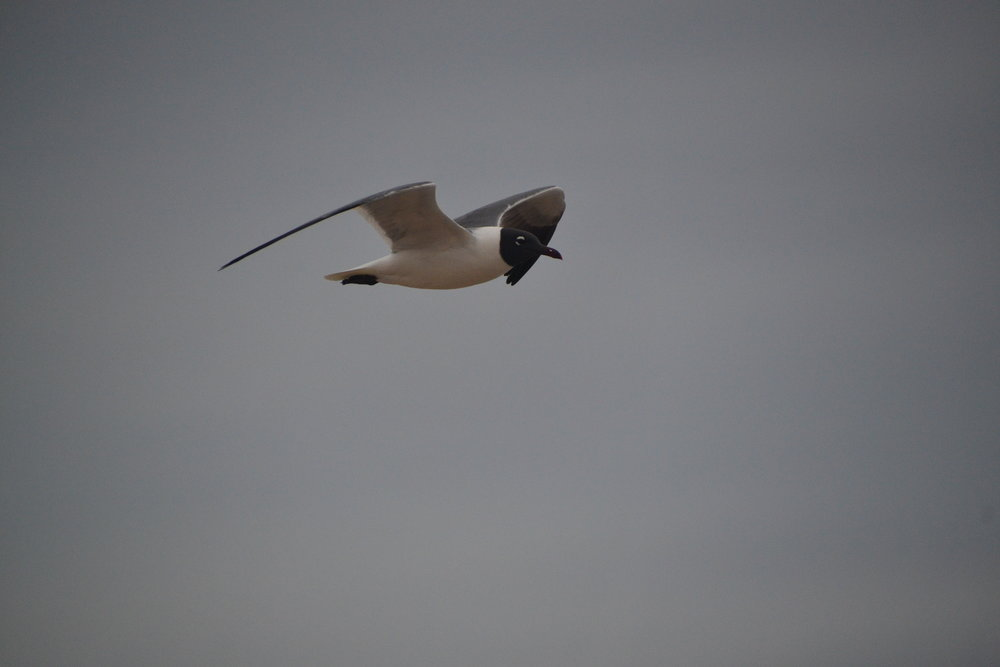 Laughing gull, March, breeding.