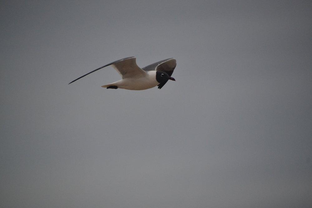 Laughing gull, March, breeding.