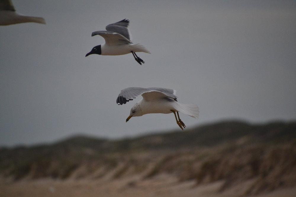 Adult ring billed gull, breeding.