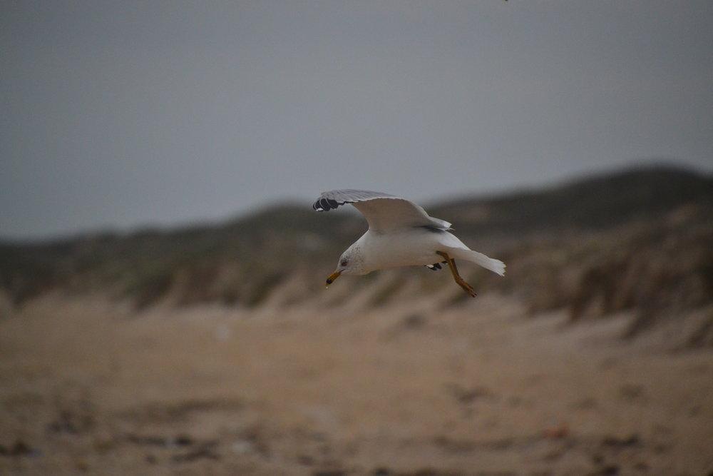 Breeding adult ring billed gull.