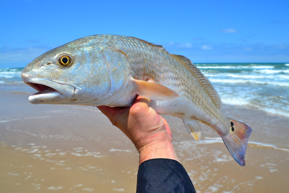 Surf redfish on lure!
