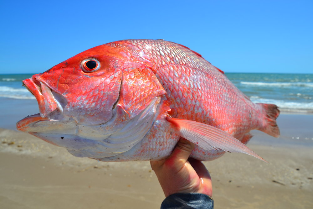 Quick trip for Red Snapper and Sharking. - Padre Island National Seashore