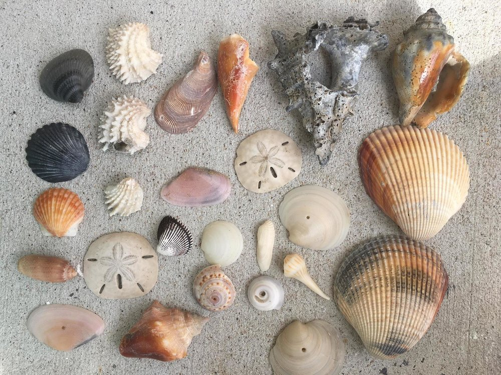 Some of the great seashell finds!