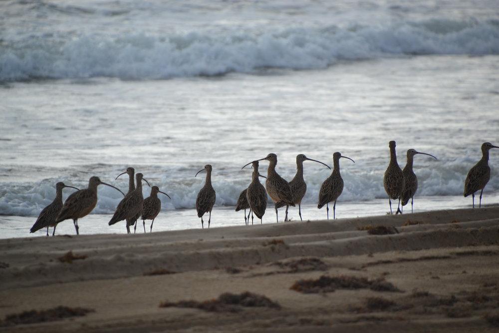 Long Billed Curlews in October.