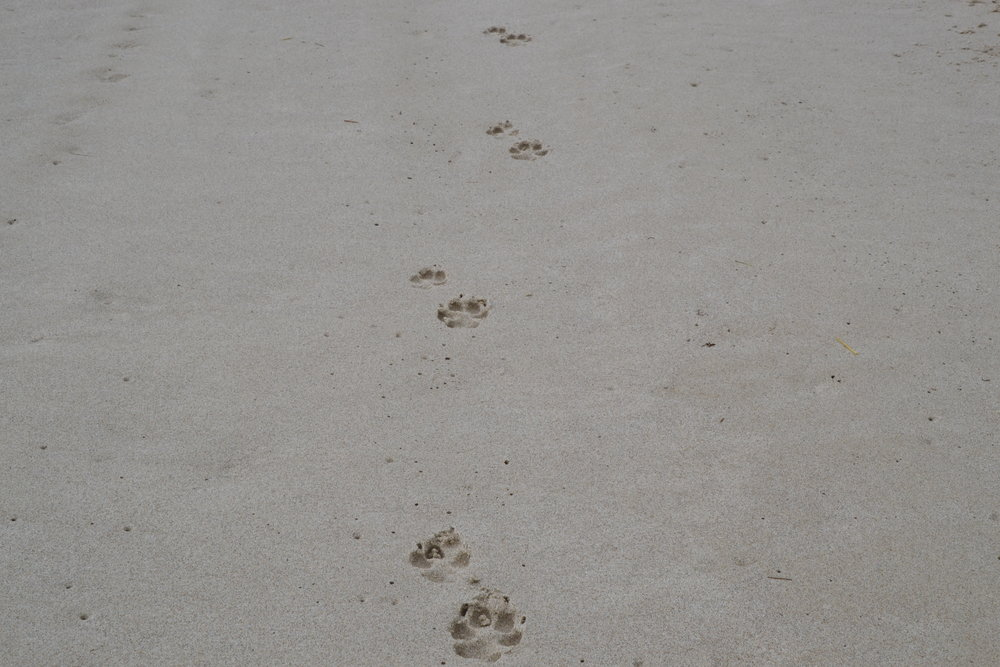Beach coyotes!