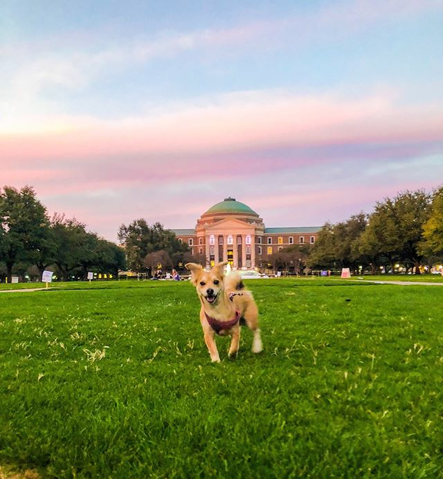 Ferris living his best life on Dallas Hall lawn! He loves the warm weather and green grass!