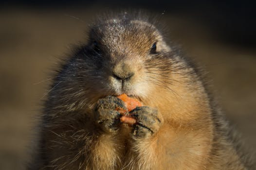taste eating-animal-carrot-prairie-dog.jpg