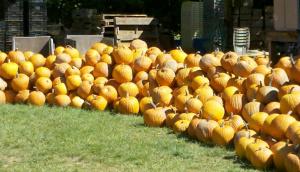 2012 pumpkins 1