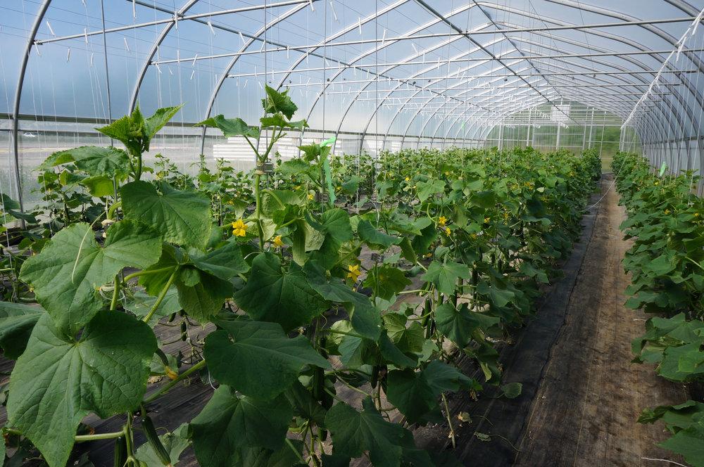 6.24 SW Cucumbers 1 .jpg