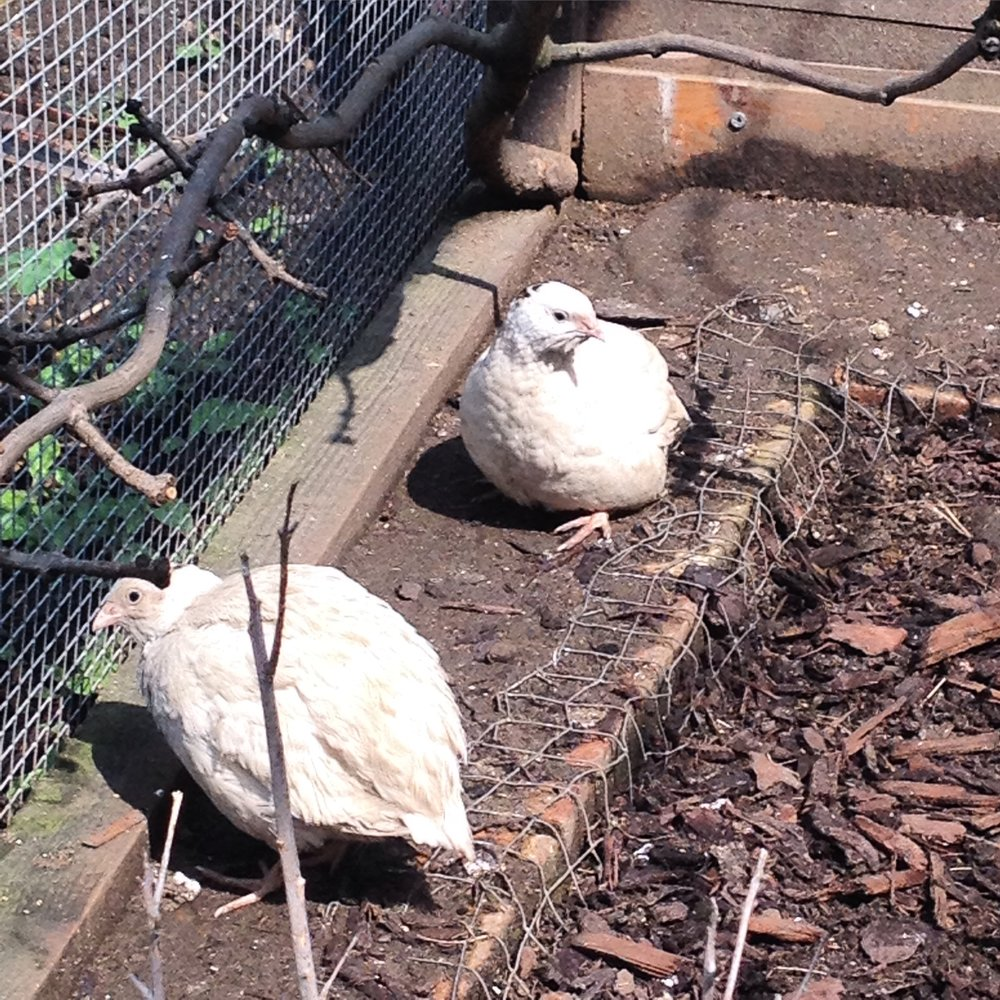 Texas A&M Quail are all white with a little black dot and cannot be feathered sexed.