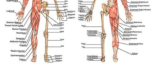 Bodyman-Skeletlaland-muscle-back-front-e1402959569916.jpg