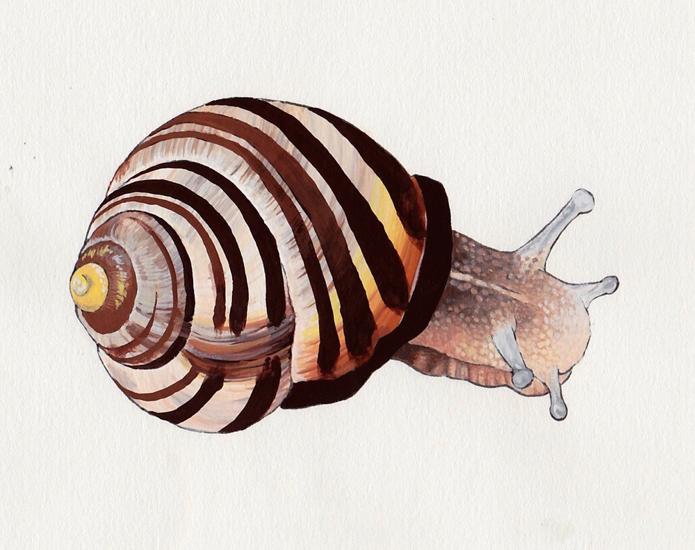 Brown-Lipped Snail (ink and gouache) for OWLS Club Guide to Garden Invertebrates.