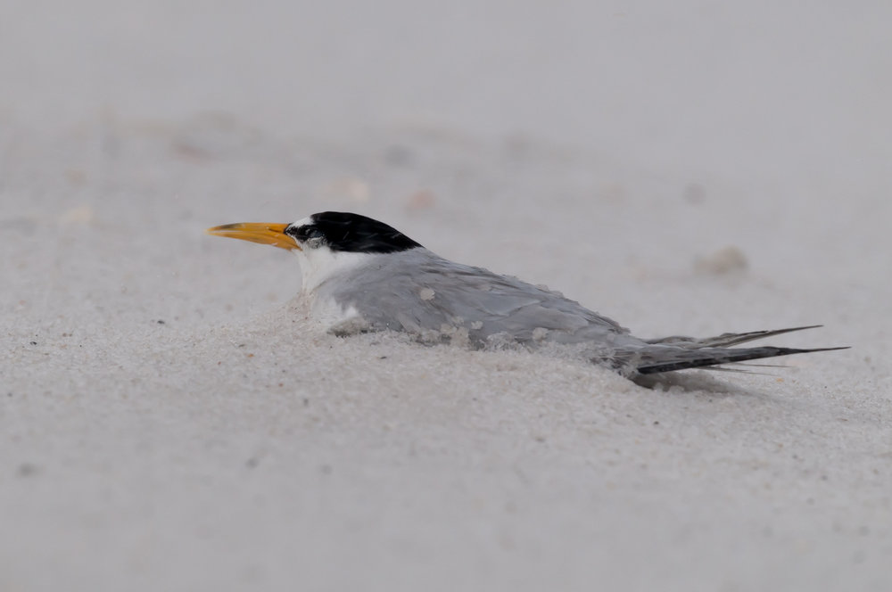 Least Terns thunderstorm-2.jpg