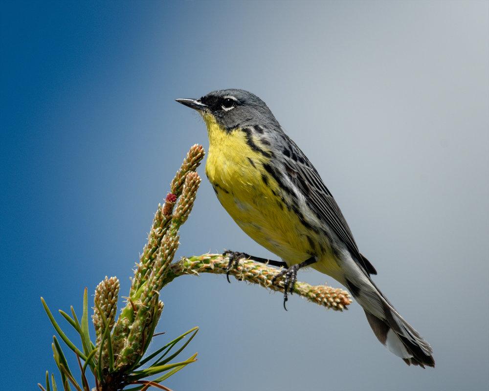 Kirtlands Warbler-2.jpg