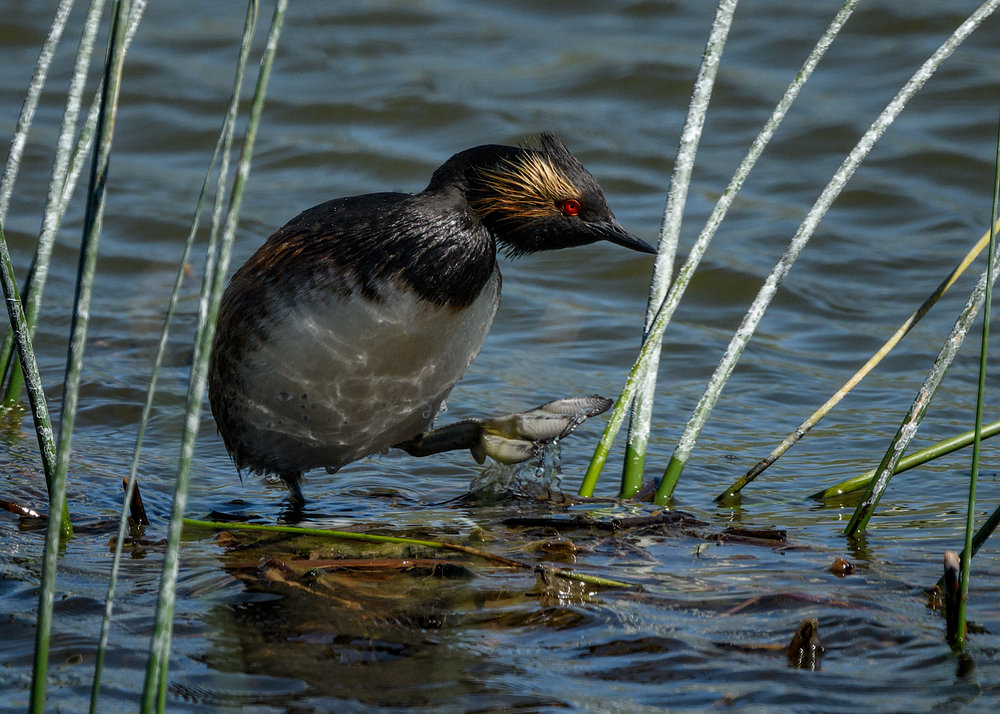 Eared Grebe, Lostwood NWR, North Dakota