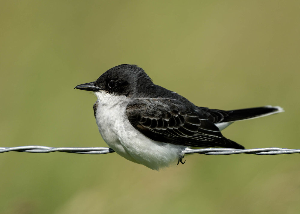 Eastern Kingbird - Lostwood NWR -  North Dakota