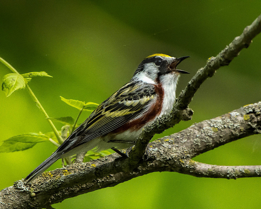 Chestnut-sided Warbler - Michigan - May 28, 2017