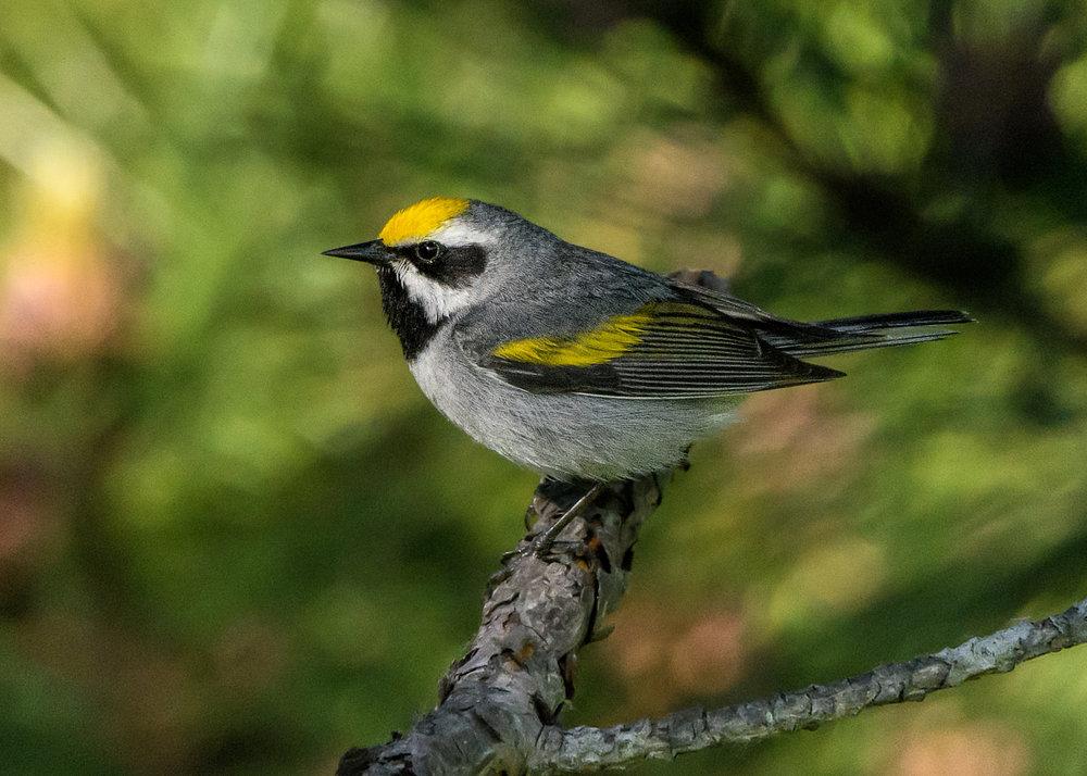 Golden-winged Warbler - Michigan - 2017