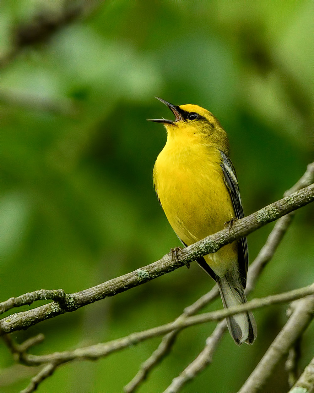 Blue-winged Warbler - Michigan - May 2017