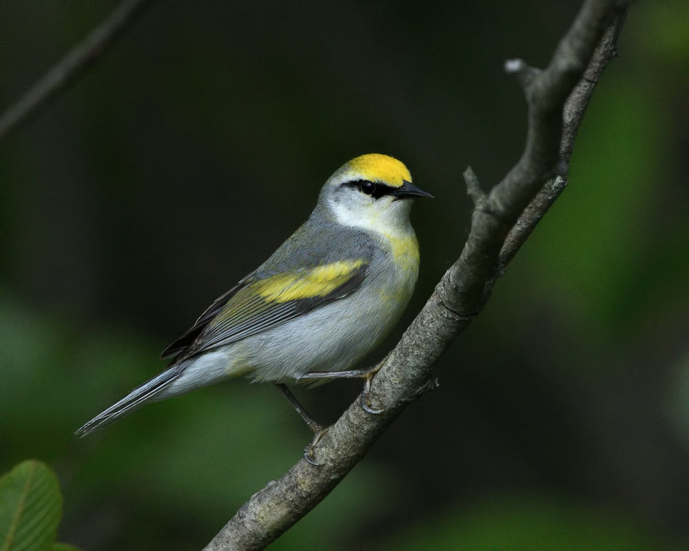 Brewster's Warbler - Michigan - May 2017