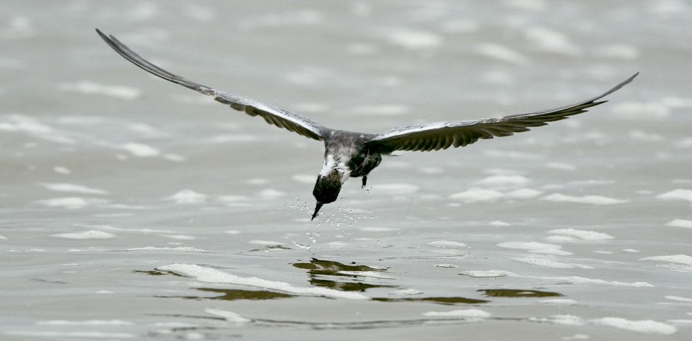 Black Tern - Rollover Pass, TX - April 2017