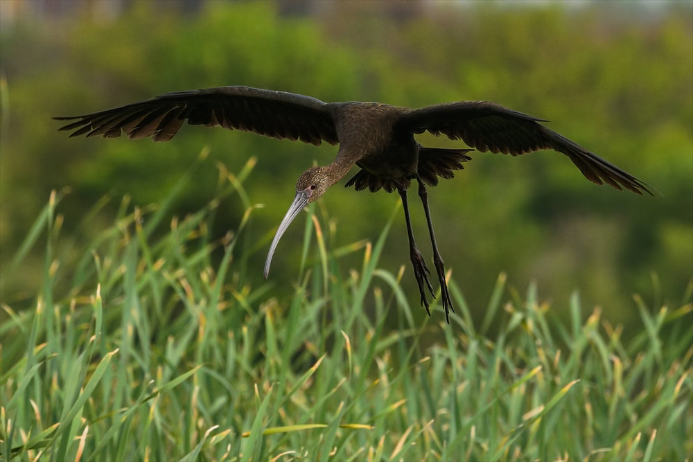 White-faced Ibis - Bolivar Peninsula, TX - April 2017