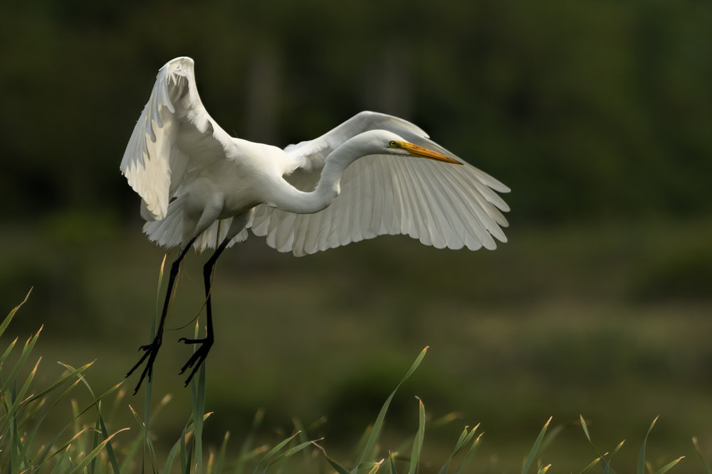Great Egret - Bolivar Peninsula - April 2017