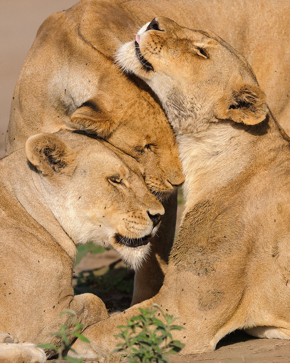 Lionesses - Serengeti National Park (Tanzania) - Feb. 2011