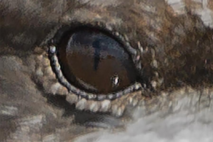 Slit Pupil of Black Skimmer