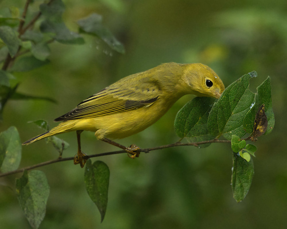 Yellow Warbler - Frontera Audubon Center, TX - Sept. 2017