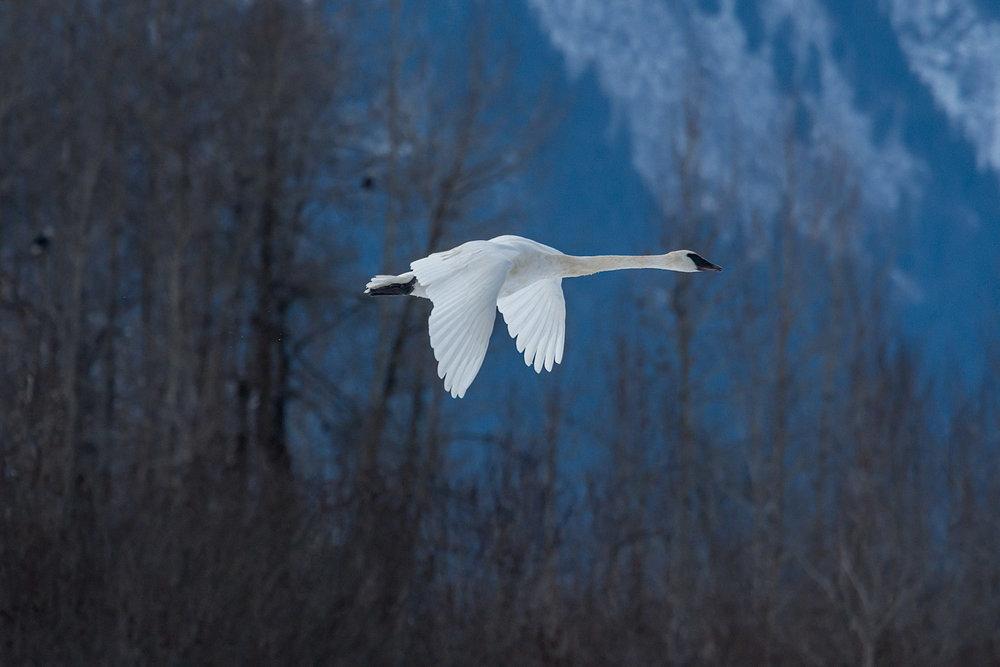 Tundra Swan - Chilkat Preserve, Nov. 2017