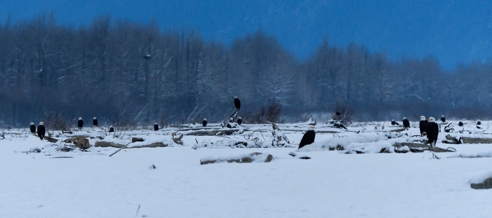 Bald Eagles at the Chilkat Preserve - Nov. 2017