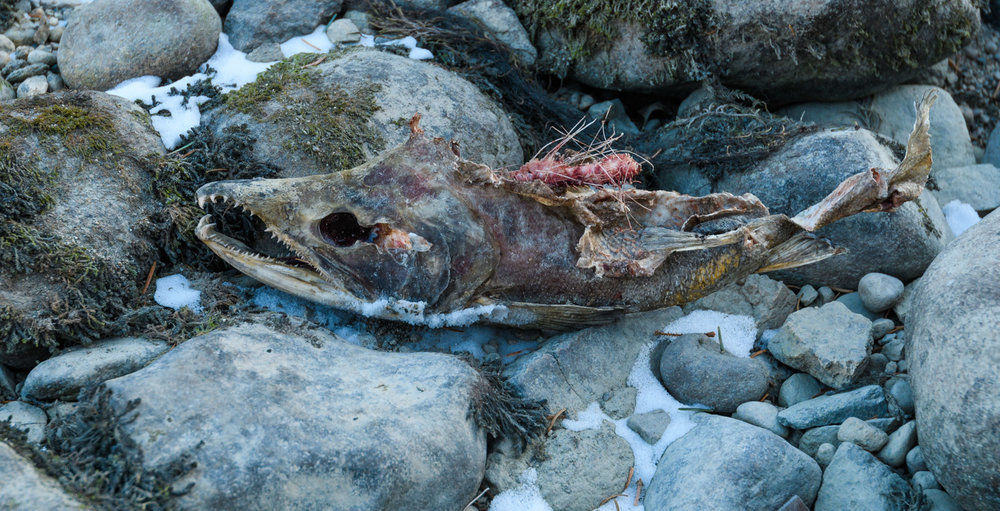 Salmon Remains, banks of Chilkoot Lake near Haines, AK - Nov. 2017