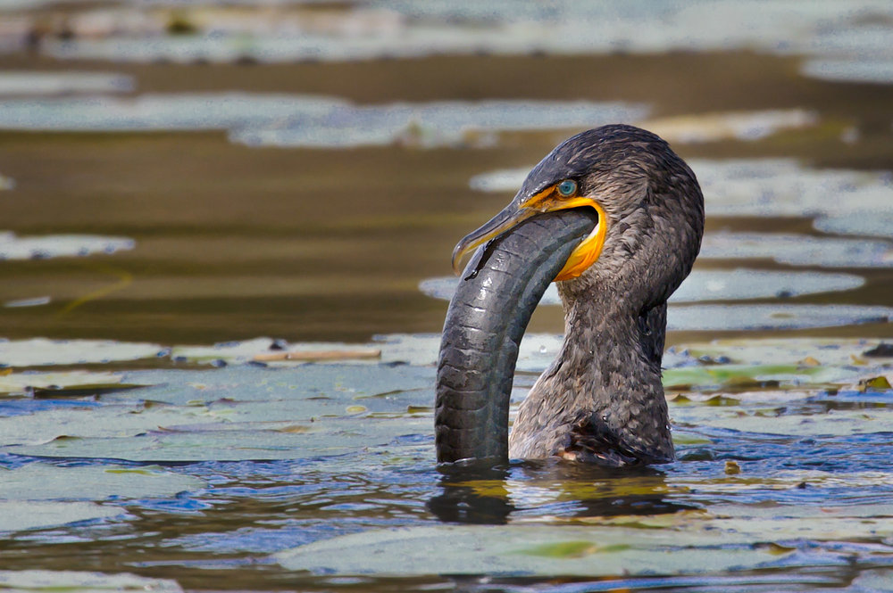 Double-crested Cormorant - Viera Wetlands, FL