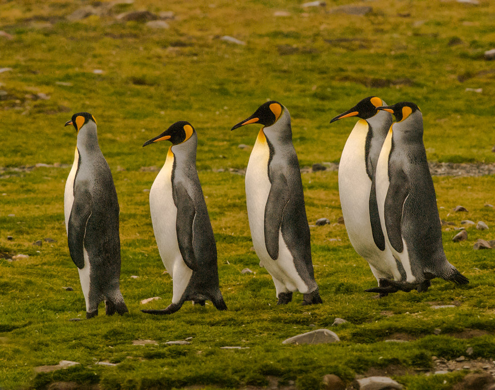 King Penguins - South Georgia, Feb. 2008