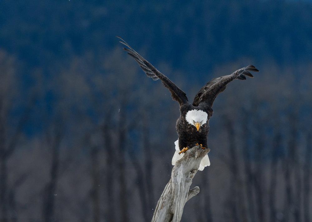 Bald Eagle - Chilkat Bald Eagle Preserve - Nov. 2017