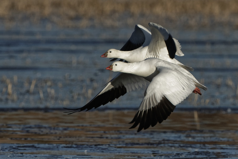 Ross's Geese in flight