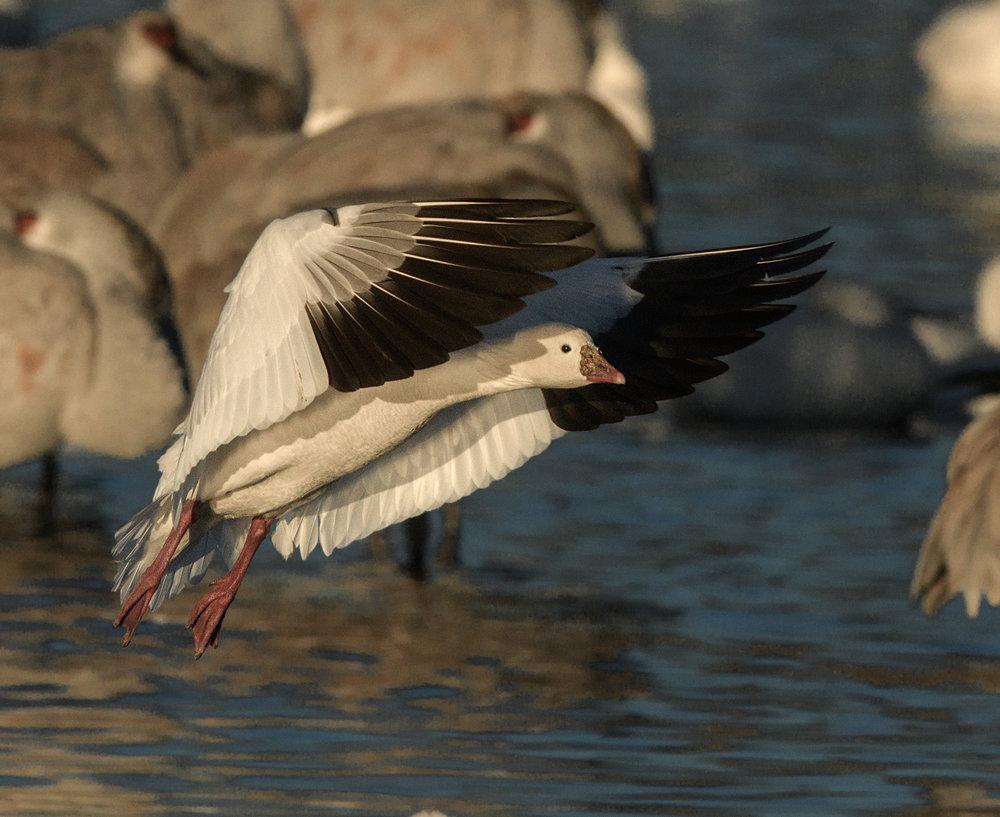 Ross's Goose in flight